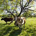 Stunning Texas Longhorns by Kathy Clark