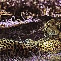 Styled Environment-the Modern Trendy Cheetah by Douglas Barnard
