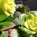 Succulent Bloom by Alan M Thwaites