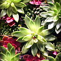 Succulent Beauties by Karen Wiles