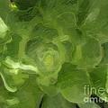 Succulent  by Jacklyn Duryea Fraizer