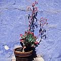 Succulent Blue by James Brunker