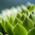 Succulent by Lisa Knechtel