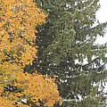 Sugar Maple And Evergreen by Valerie Collins