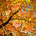 Sugar Maple Canope by Ray Mathis