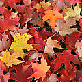 Sugar Maple Carpet by Ray Mathis