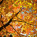 Sugar Maple Crown by Ray Mathis