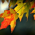 Sugar Maple Fall Colors by Nathan Abbott