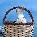 sugar the easter bunny 4 - A curious and cute white rabbit in a hand basket  by Pedro Cardona Llambias