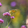 Sulphur Butterfly On Verbena Flower by Karen Adams