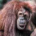 Sumatran Orangutan by Savannah Gibbs