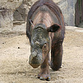Sumatran Rhinoceros  by Judy Whitton