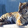 Sumatran Tiger 7d27276 by Wingsdomain Art and Photography