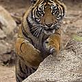 Sumatran Tiger Cub Jumping Onto Rock by San Diego Zoo