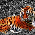 Sumatran Tiger by Davandra Cribbie