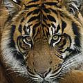 Sumatran Tiger by Hiroya Minakuchi