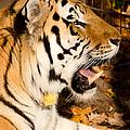 Sumatran Tiger by Les Palenik
