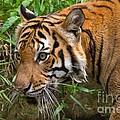 Sumatran Tiger by Louise Heusinkveld