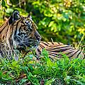 Sumatran Tiger by Steve Harrington