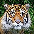 Sumatran Tiger by Steve McKinzie