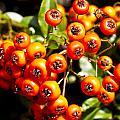 Summer Berries by David Pyatt