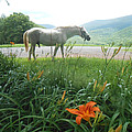 Summer Day Memories With The Paso Fino Stallion by Patricia Keller