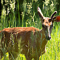 Summer Deer by Lawrence Golla