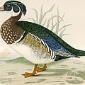 Summer Duck by Beverley R. Morris