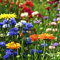Summer Flowers by Elena Elisseeva