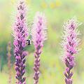 Summer Flowers Of The Blue Ridge Parkway II by Dan Carmichael
