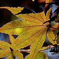 Summer Japanese Maple - 1 by Kenny Glotfelty