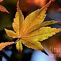 Summer Japanese Maple - 2 by Kenny Glotfelty