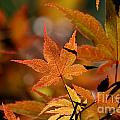 Summer Japanese Maple - 3 by Kenny Glotfelty