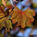 Summer Japanese Maple - 4 by Kenny Glotfelty