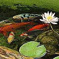 Summer Koi And Lilly by Amanda Smith