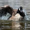 Summer Lovin - Canadian Goose by Maria Urso