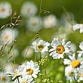Summer Meadow by Torbjorn Swenelius