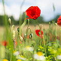 Summer Meadow With Red Poppy by Matthias Hauser