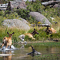 Summer Morning Dip - Elk In Yellowstone National Park - Wyoming by Diane Mintle
