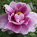 Summer Pink by Barbara McMahon