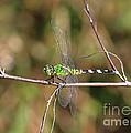 Summer Pondhawk Dragonfly by Carol Groenen