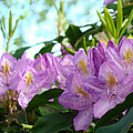 Summer Rhodies Flowers Purple Floral Art Prints by Baslee Troutman