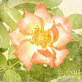 Summer Rose by Alys Caviness-Gober