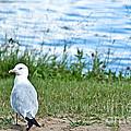 Summer Sea Gull by Cheryl Baxter
