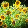 Summer Sunflowers by Virginia Folkman