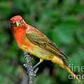 Summer Tanager Changing Color by Anthony Mercieca