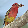 Summer Tanager Eating Wasp by Anthony Mercieca