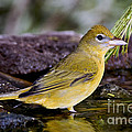 Summer Tanager Female In Water by Anthony Mercieca
