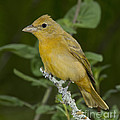 Summer Tanager Hen by Anthony Mercieca
