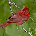 Summer Tanager Male by Anthony Mercieca